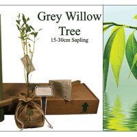 Grey Willow Memorial Tree